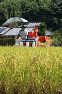 早期米コシヒカリ収穫