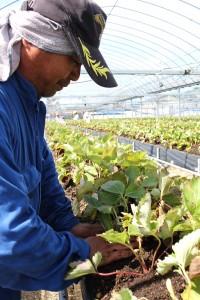 イチゴ苗定植始まる