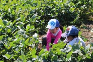 家族で大豆を育てよう (5)